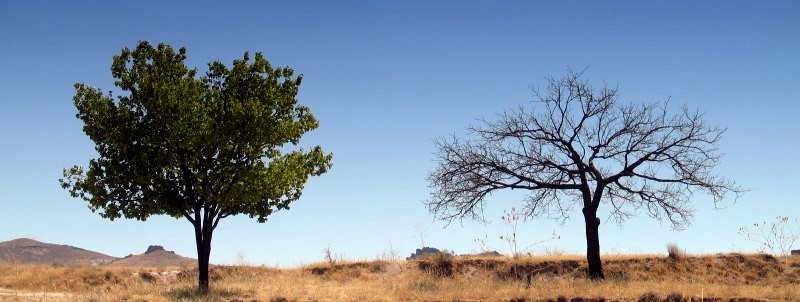 TWO TREES STANDING ALONE IN DESERT © weka | iStockPhoto